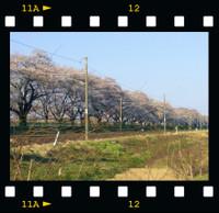 Sakura_201302_5