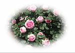 Rose_201302_9