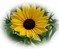 Sunflower_2013_2