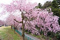 Sakura_201502