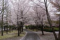 Sakura_201504