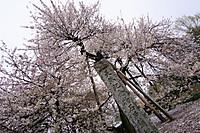 Sakura_201505